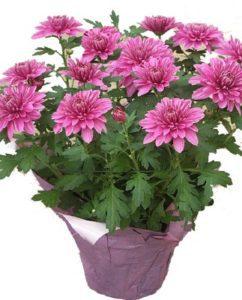 florists-mum-indoor-clean-air